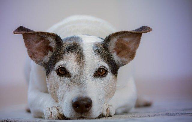 En hund ligger ned og kigger